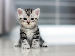 Grey Cat The Cat Clinic